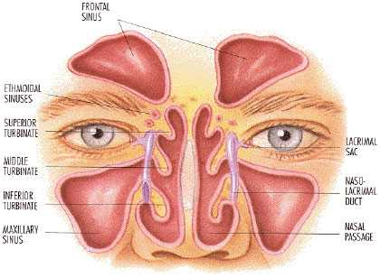 sinus diagram front